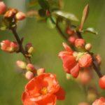冠稲荷の木瓜|群馬県のパワースポット