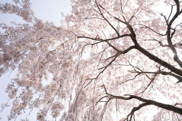 御神木の楽翁桜