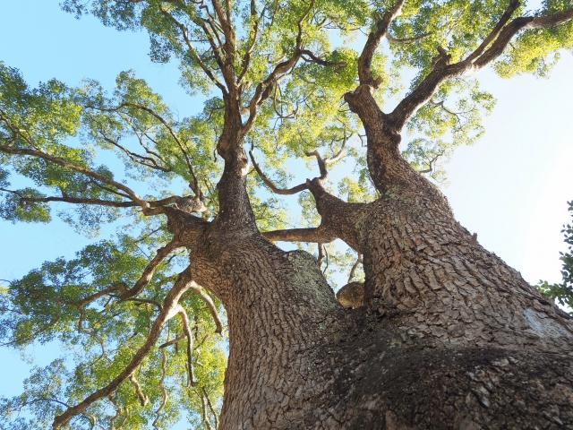 御神木の一番楠