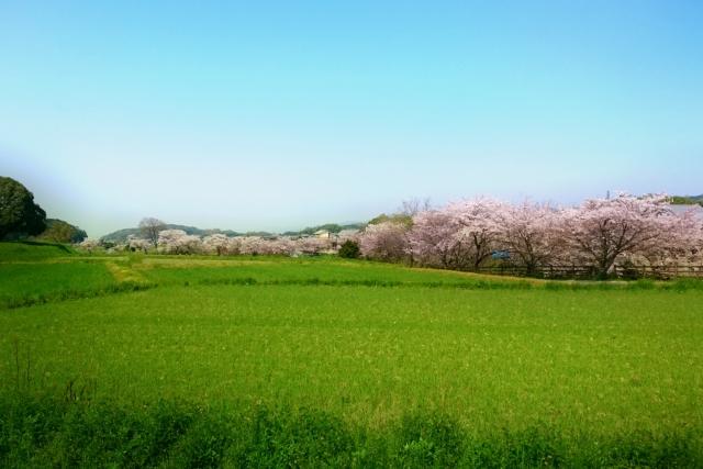桜の時期は夜も解放