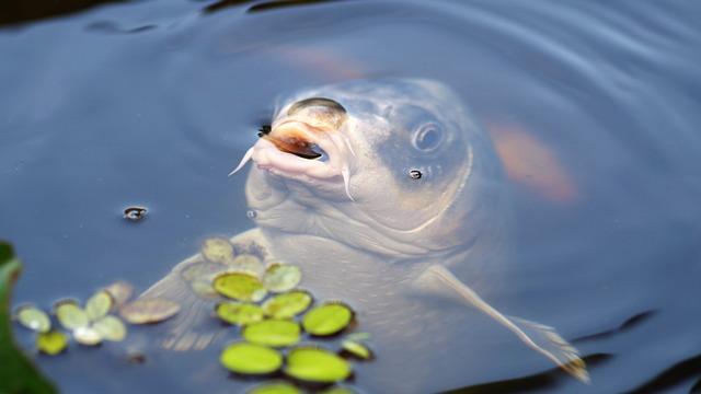 厄払い鯉に餌やり