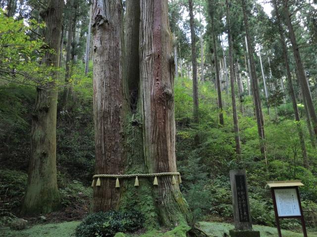 天狗が宿る三本杉
