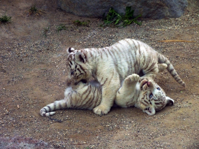 子育ての虎で安産、子育て祈願