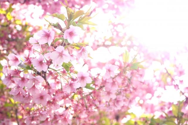 実方桜で開運祈願