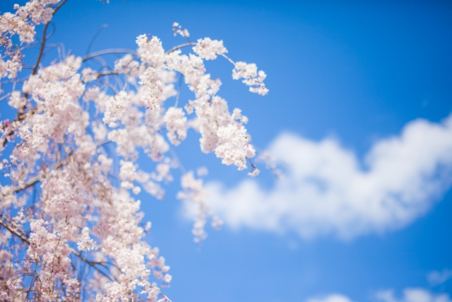 延命の桜で健康祈願