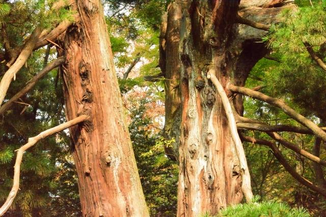 御神木の槙の木