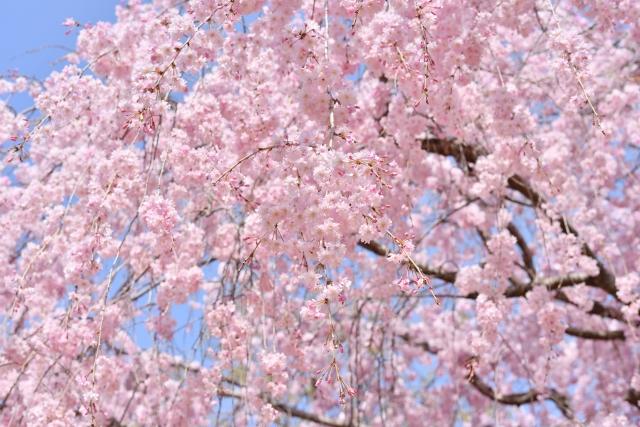 足羽さんのしだれ桜